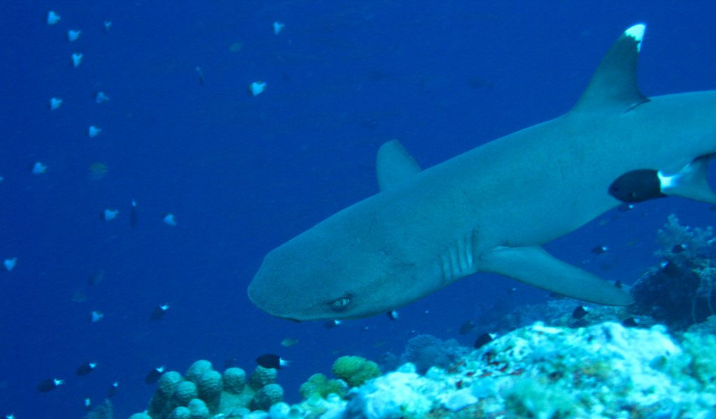 white-tipped-reef-shark