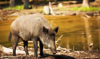 Wild Boar - Facts, Diet & Habitat Information