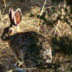 wild-rabbit
