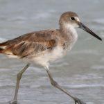 willet-bird