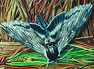 Moth with wings open