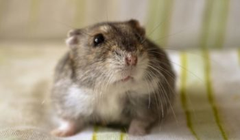 winter-white-russian-hamster