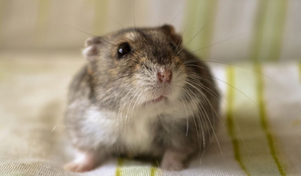 Winter White Russian Hamster - Facts, Information & Pictures