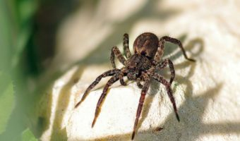What Do Wolf Spiders Eat >> Wolf Spiders Facts Venom Habitat Information