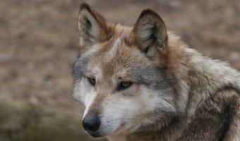 51b30f3bf Wolves - Facts, Diet & Habitat Information