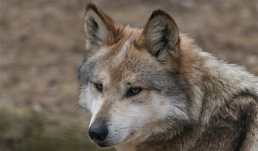 wolves wolf gray facts diet mexican animals habitat information wildlife last pack arizona phoenix