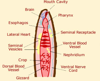 Inside a worm diagram residential electrical symbols worm anatomy diagram picture of worms body rh animalcorner co uk simple worm diagram red worm diagram ccuart Choice Image