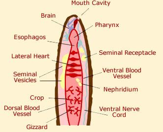 Anatomy of a worm diagram