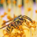 yellow-jacket-wasp