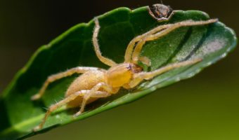 Yellow Sac Spiders Facts Venom Habitat Information