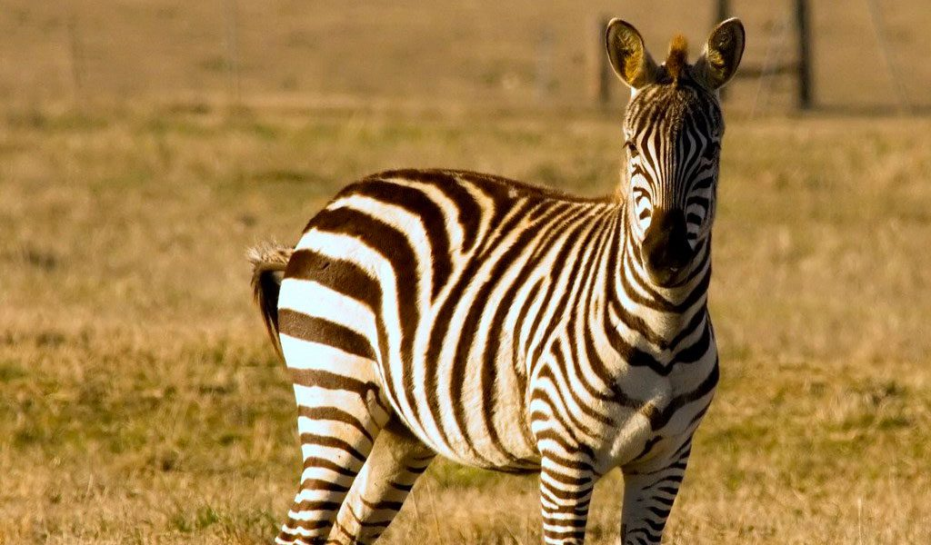 Zebras - Facts, Diet & Habitat Information