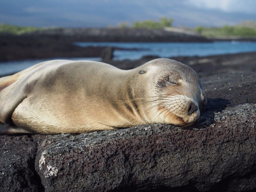 A seal relaxing on a rock in the Galapagos Islands Image Credit