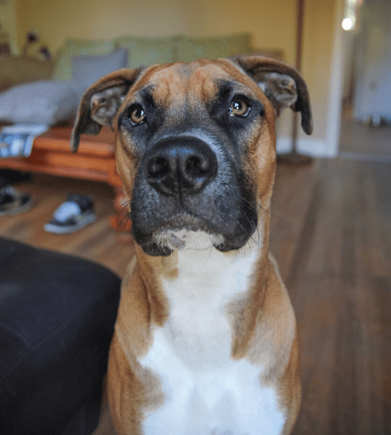 Boxer Pitbull Mix