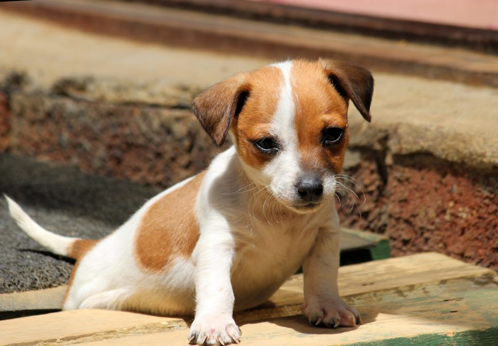 Chihuahua x Jack Russell Terrier Mix