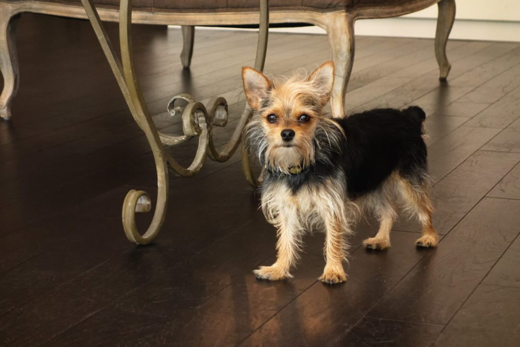 Chihuahua x Yorkshire Terrier Mix