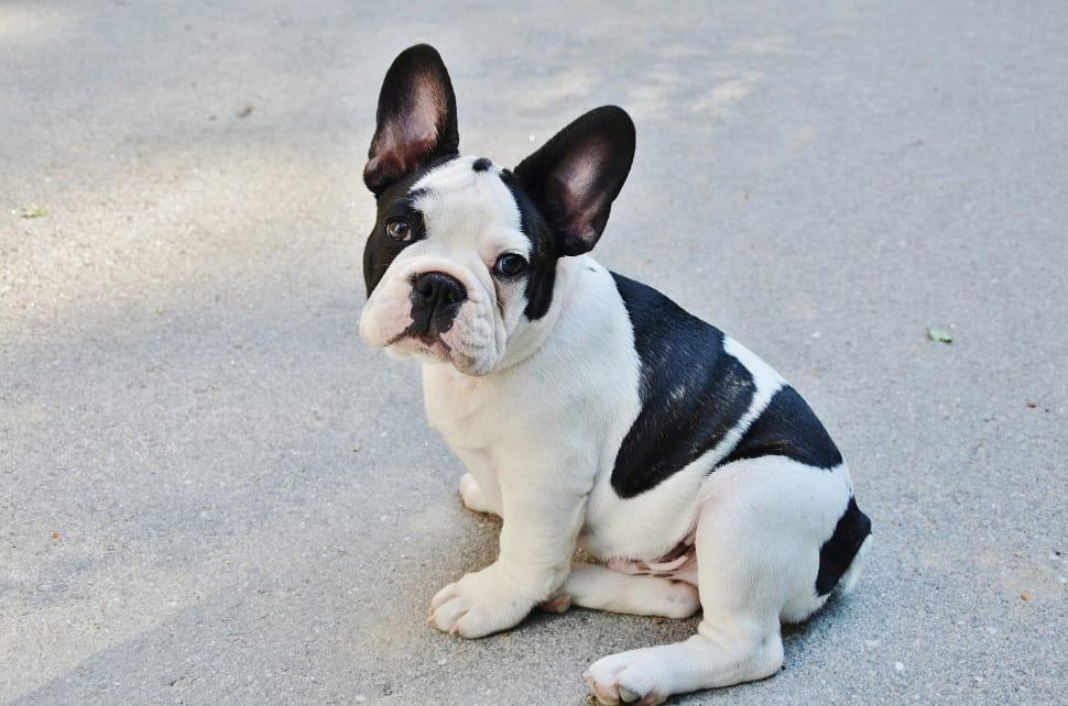French Bulldog x Boston Terrier Mix