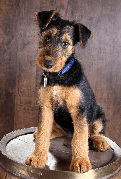 German Shepherd Airedale Terrier Mix