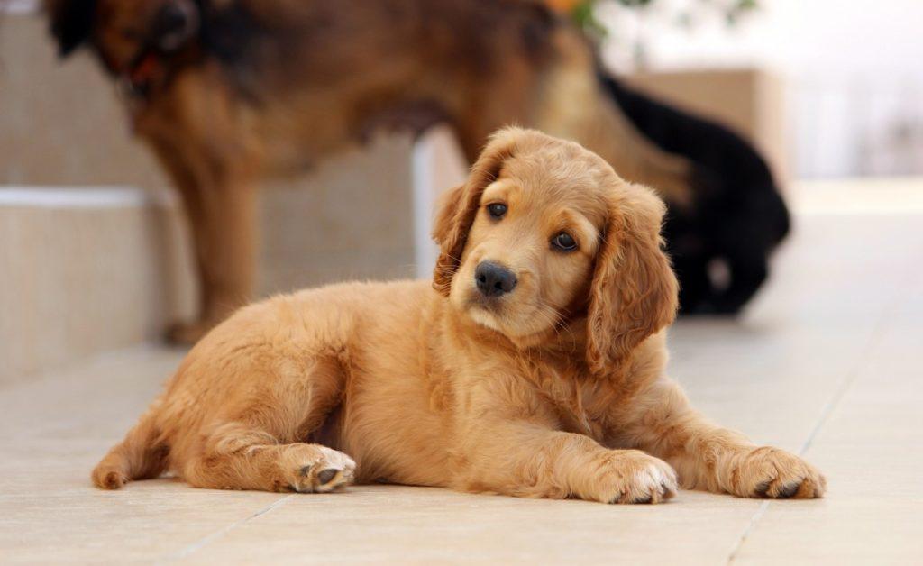 Golden Cocker Retriever Mix