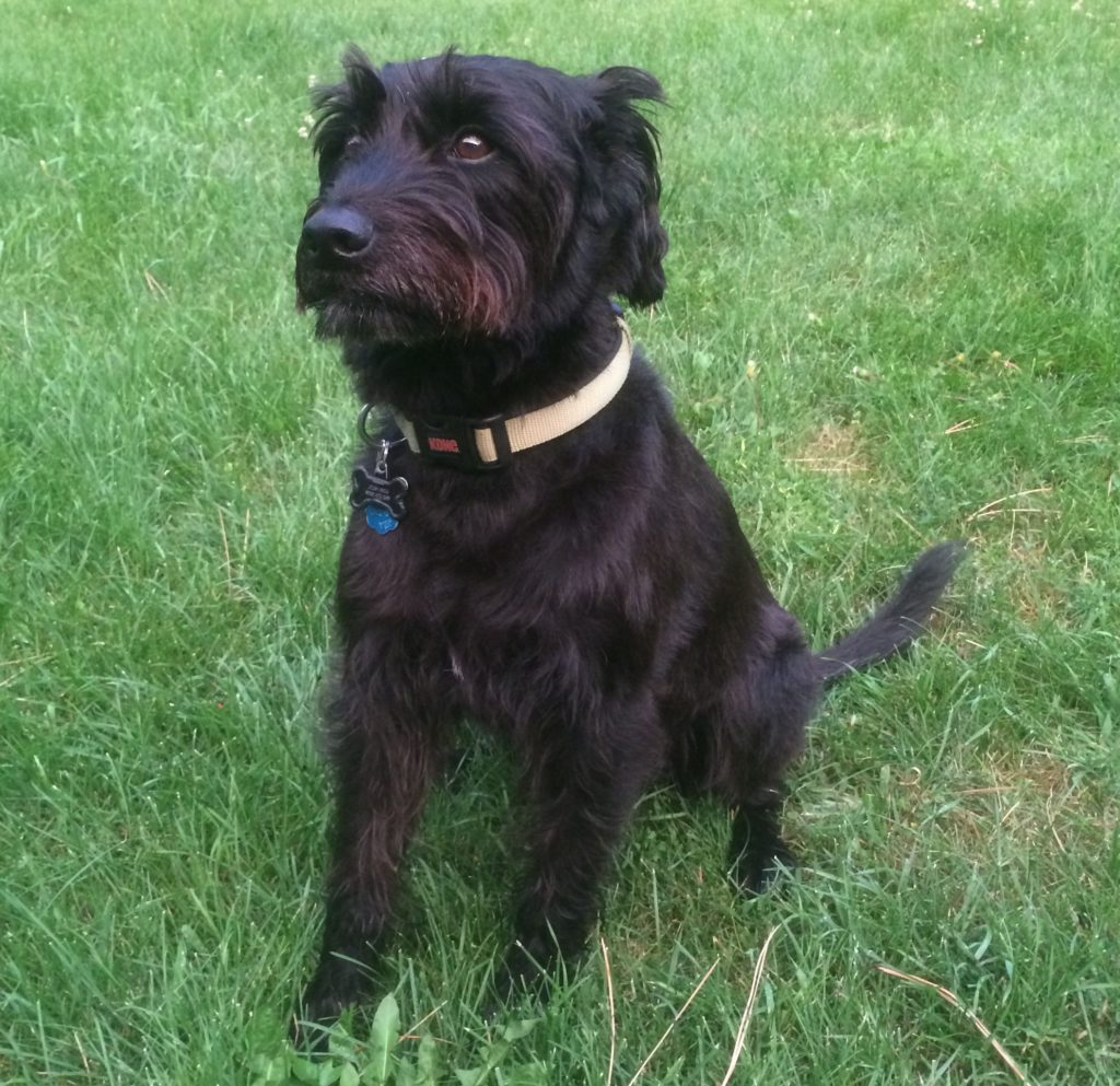 Labrador Giant Schnauzer Cross