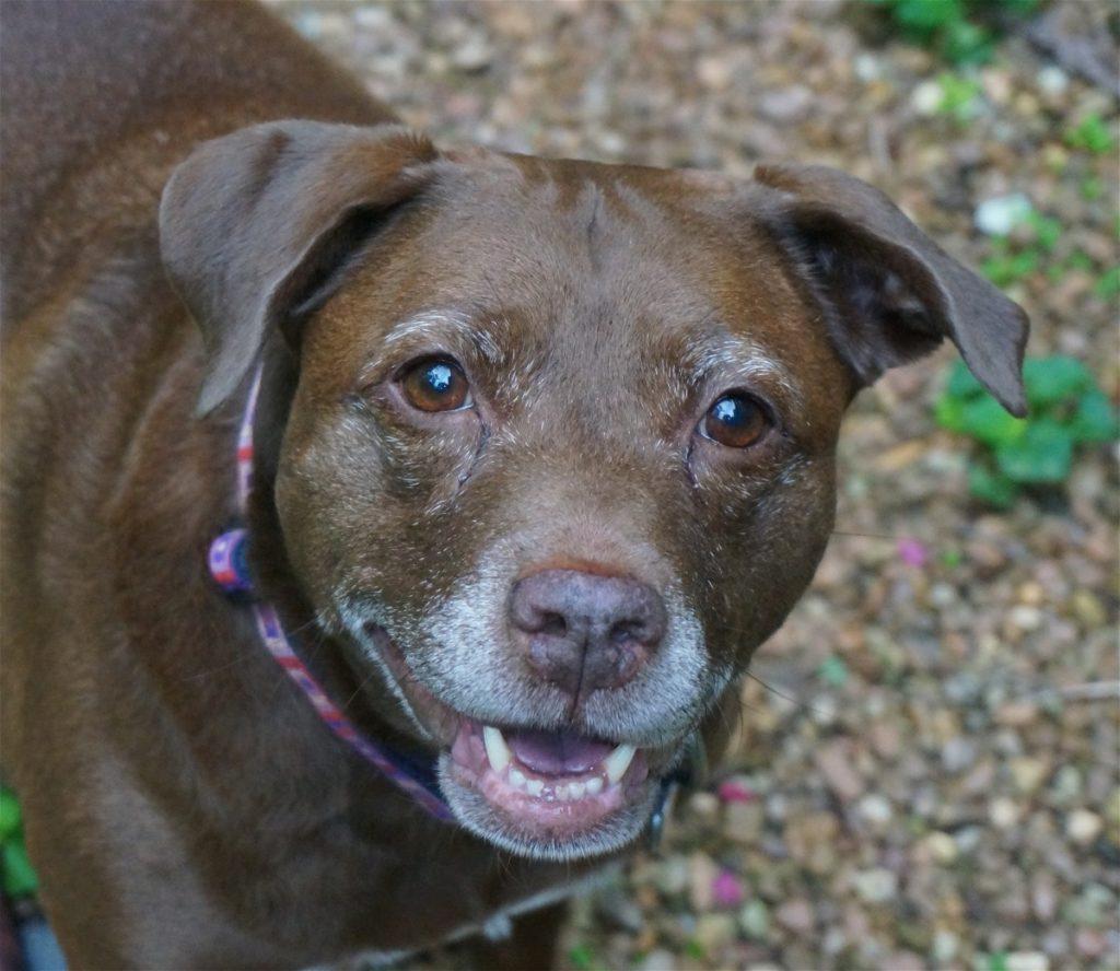Labrador American Pitbull Terrier Mix