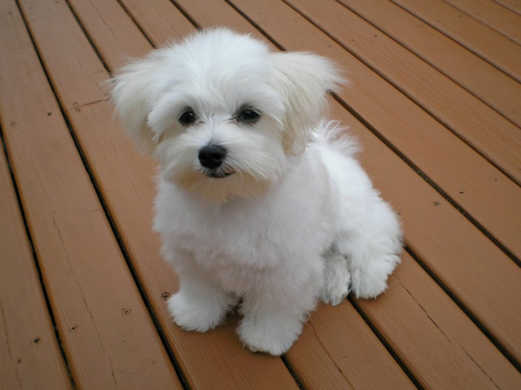 Maltese (Maltese Poodle)