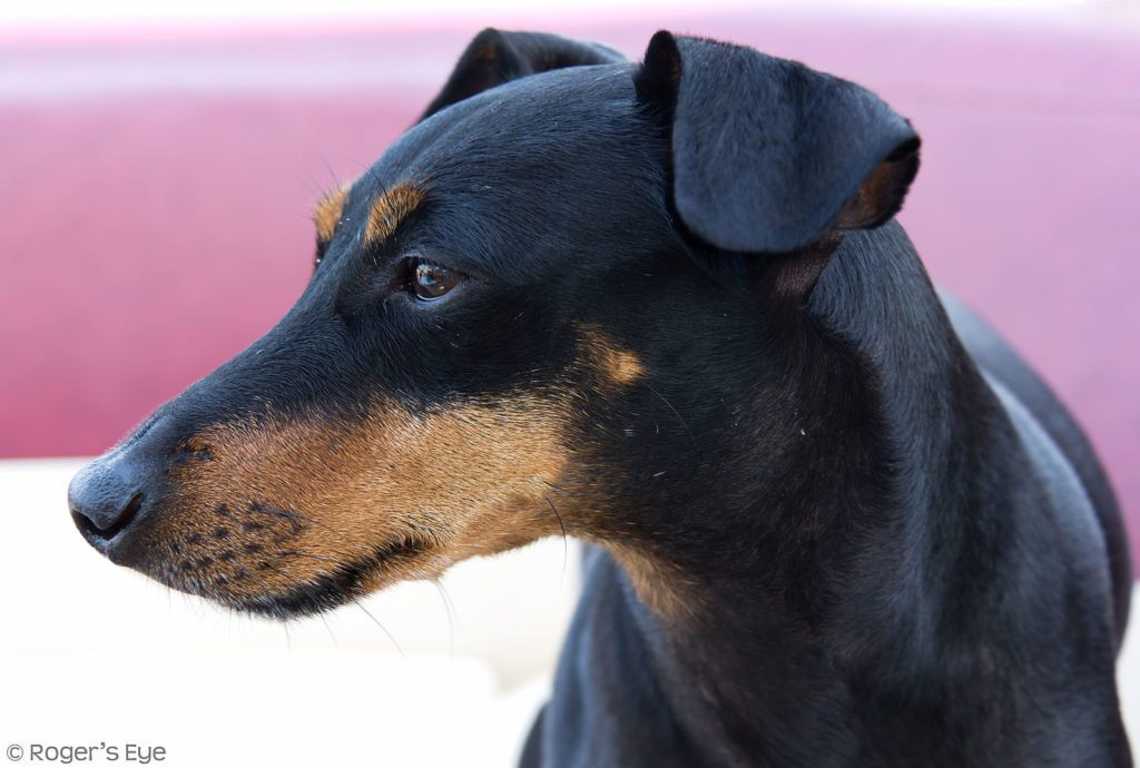 Manchester Terrier Dog