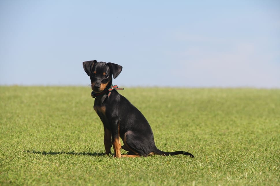 Manchester Terrier Breed
