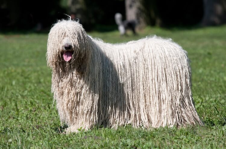 Komondor Mop Dog