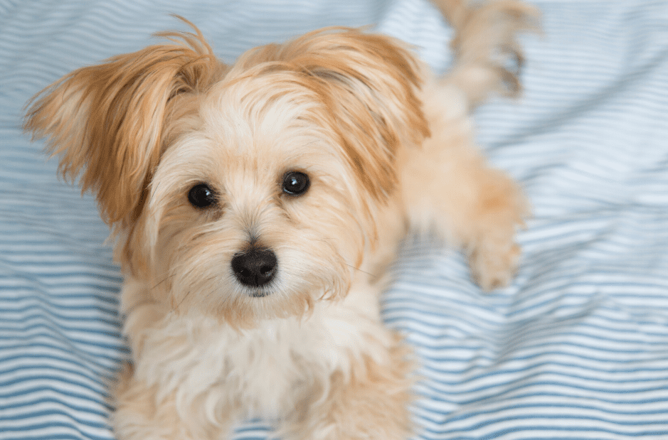 Maltese Yorkshire Terrier Mix