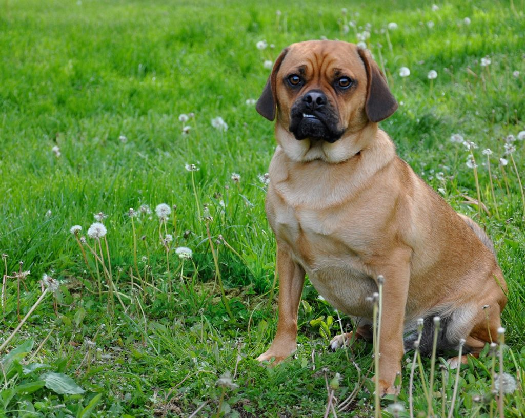 The Puggle Pug Beagle Mix Complete