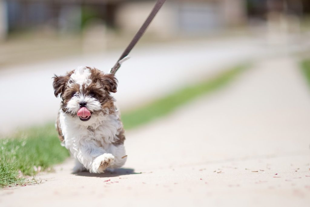 The Shorkie Shih Tzu Yorkie Mix An Owners Guide Animal Corner