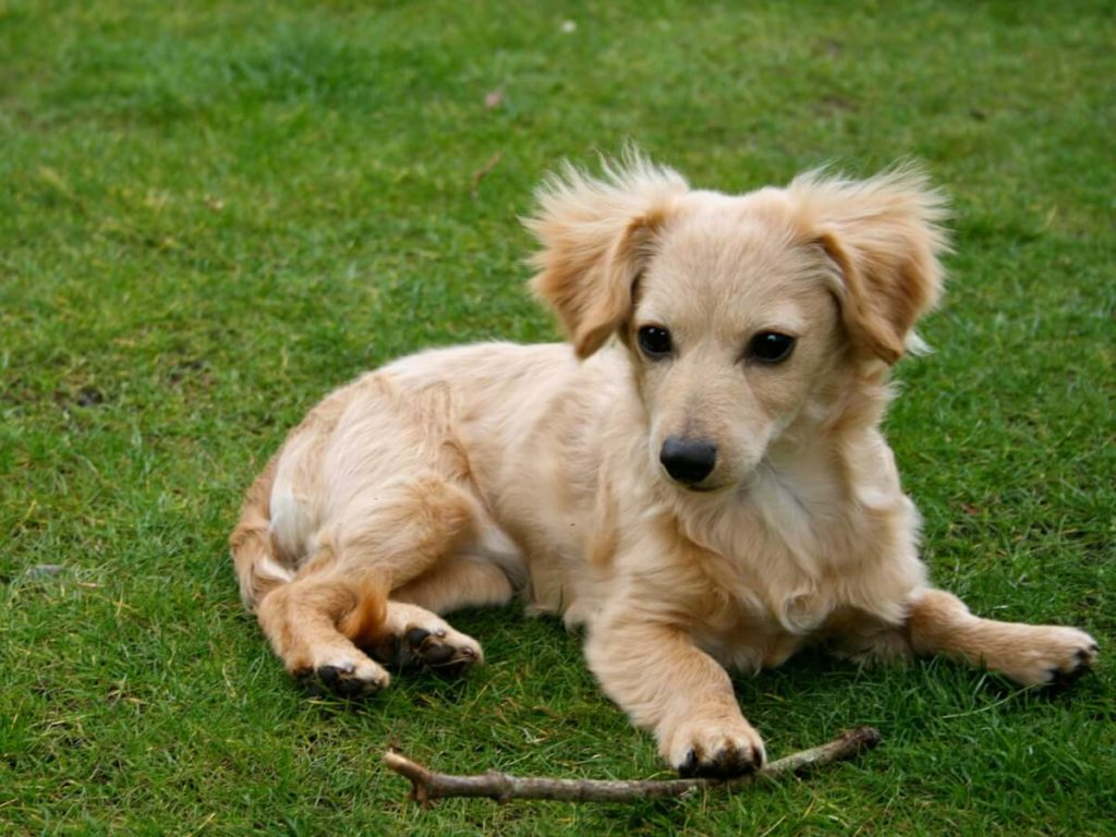 chiweenie mix breed
