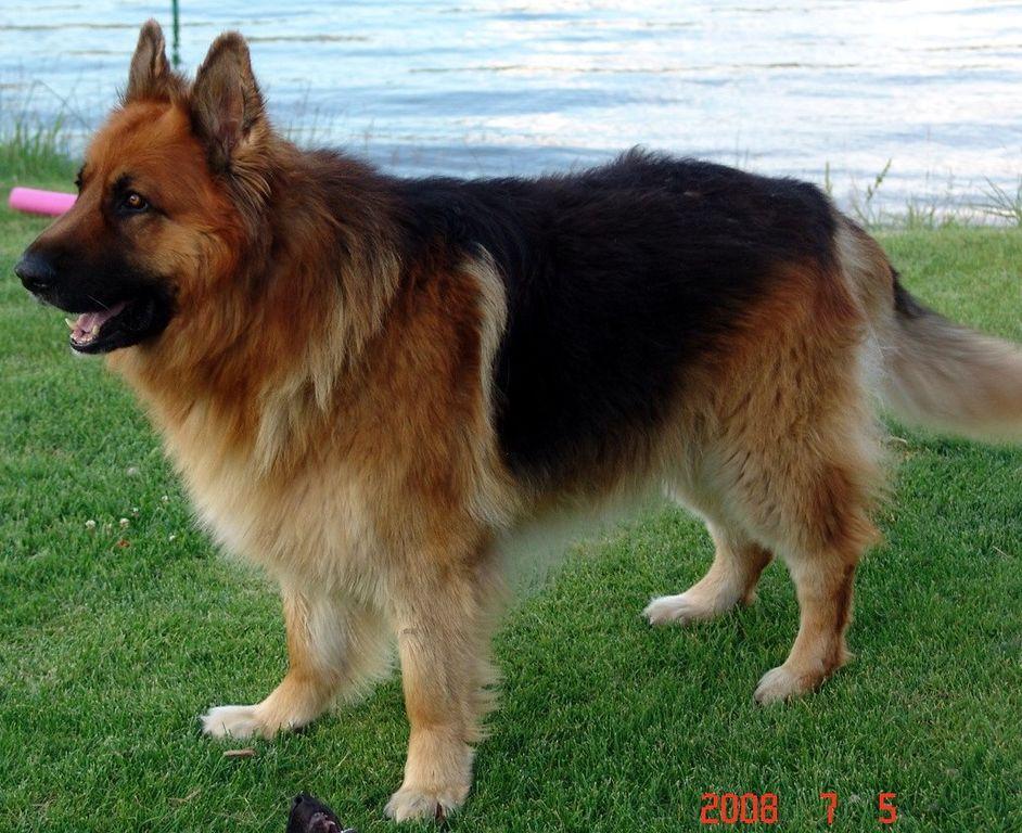 king-shepherd dog