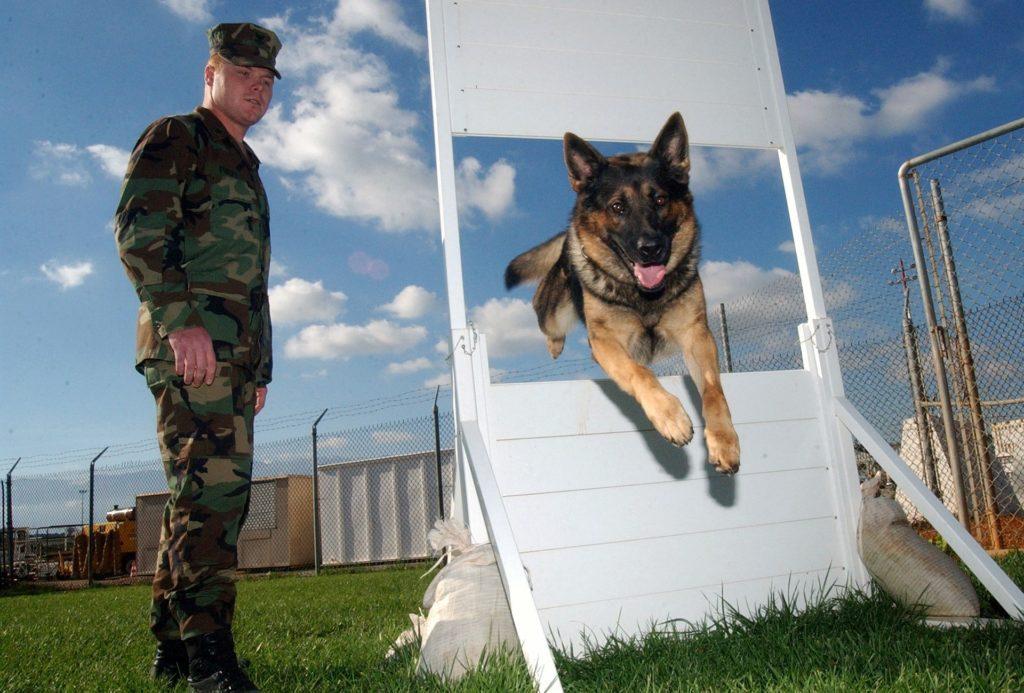 GS Show Dog
