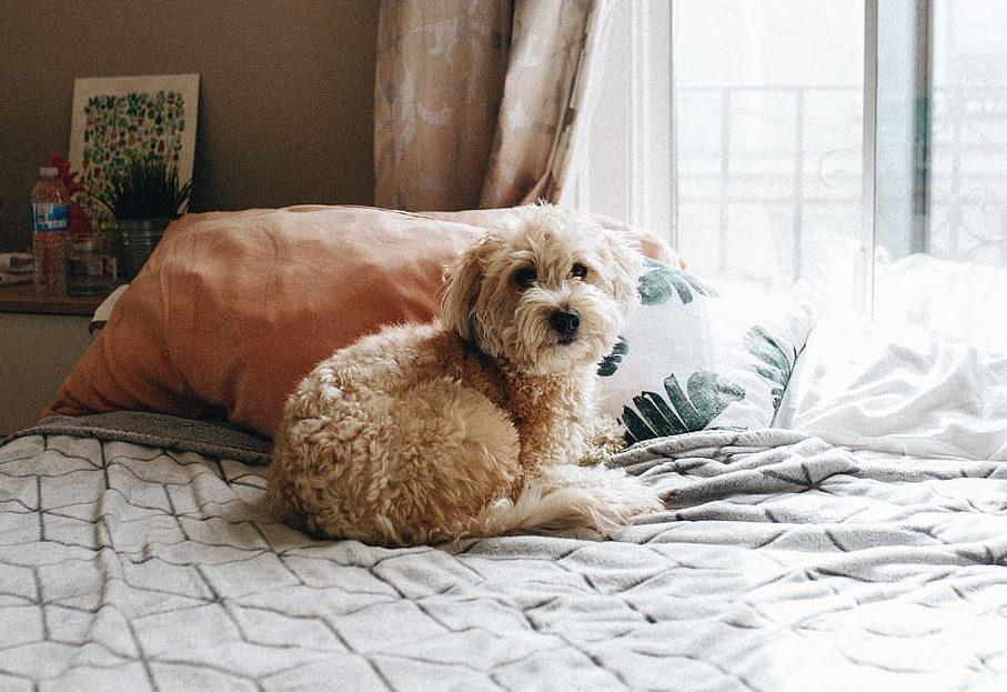 whoodle dog