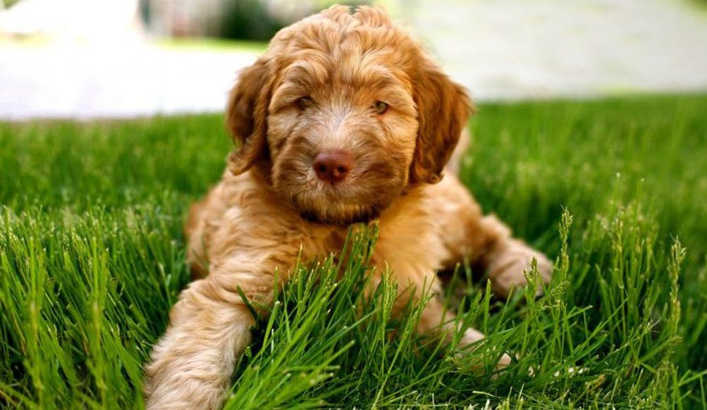 The Whoodle Wheaten Terrier And