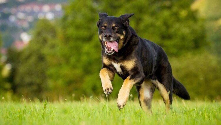 German Shepherd Rottweiler