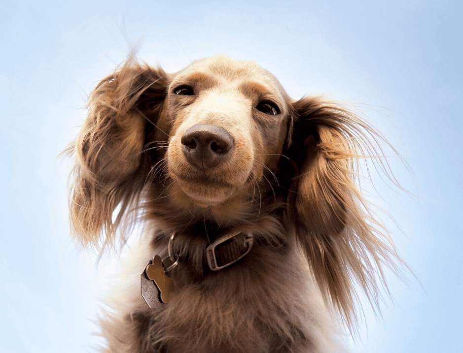 Long Haired Dachshund Dog