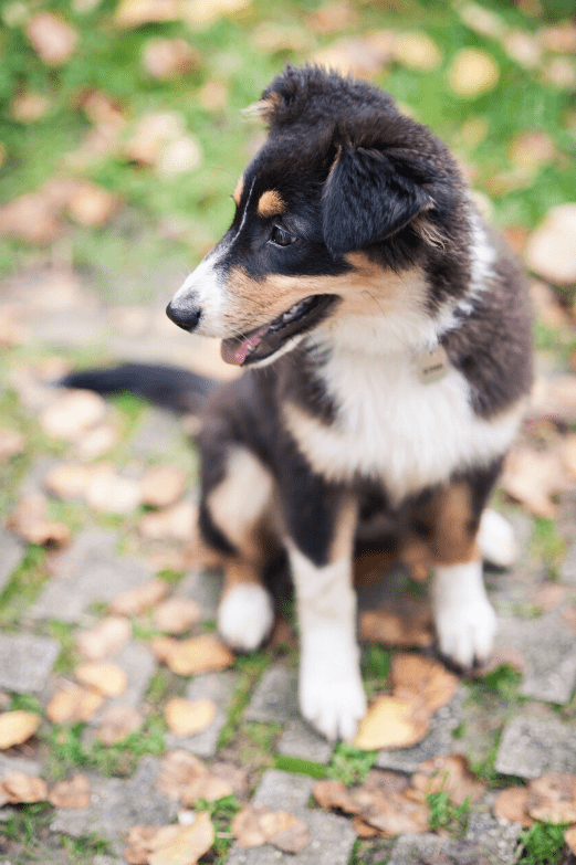 Mini Australian Shepherd Dog