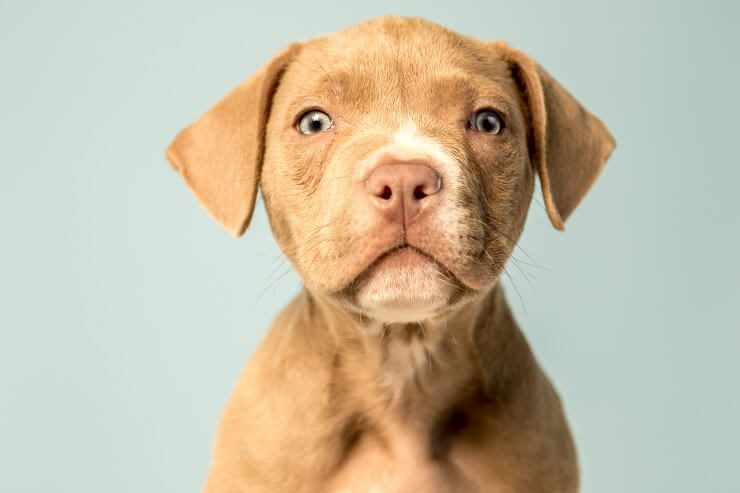 Pitador mix breed