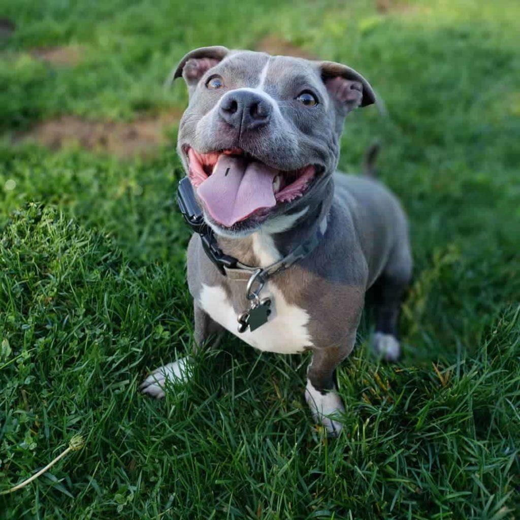 Pocket Pitbull Dog