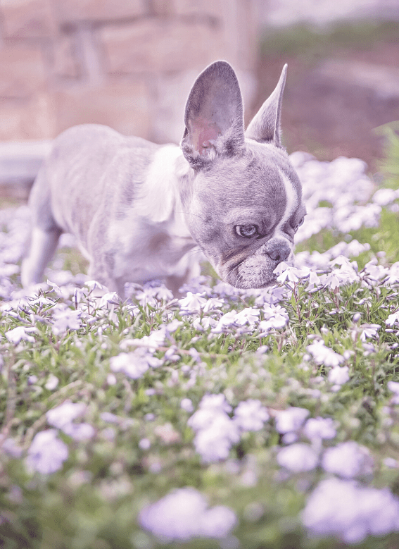 blue french bulldogss