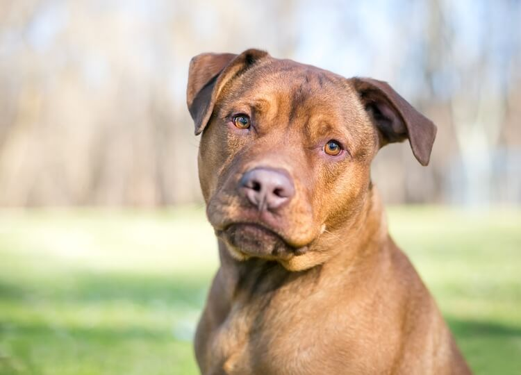 pitbull lab mix breed