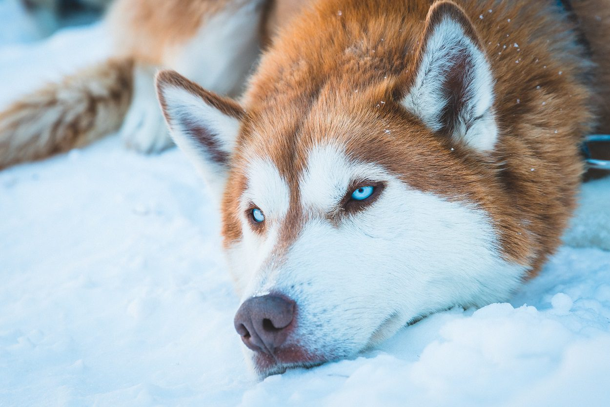 The Red Husky Breed Facts And Complete Guide Animal Corner