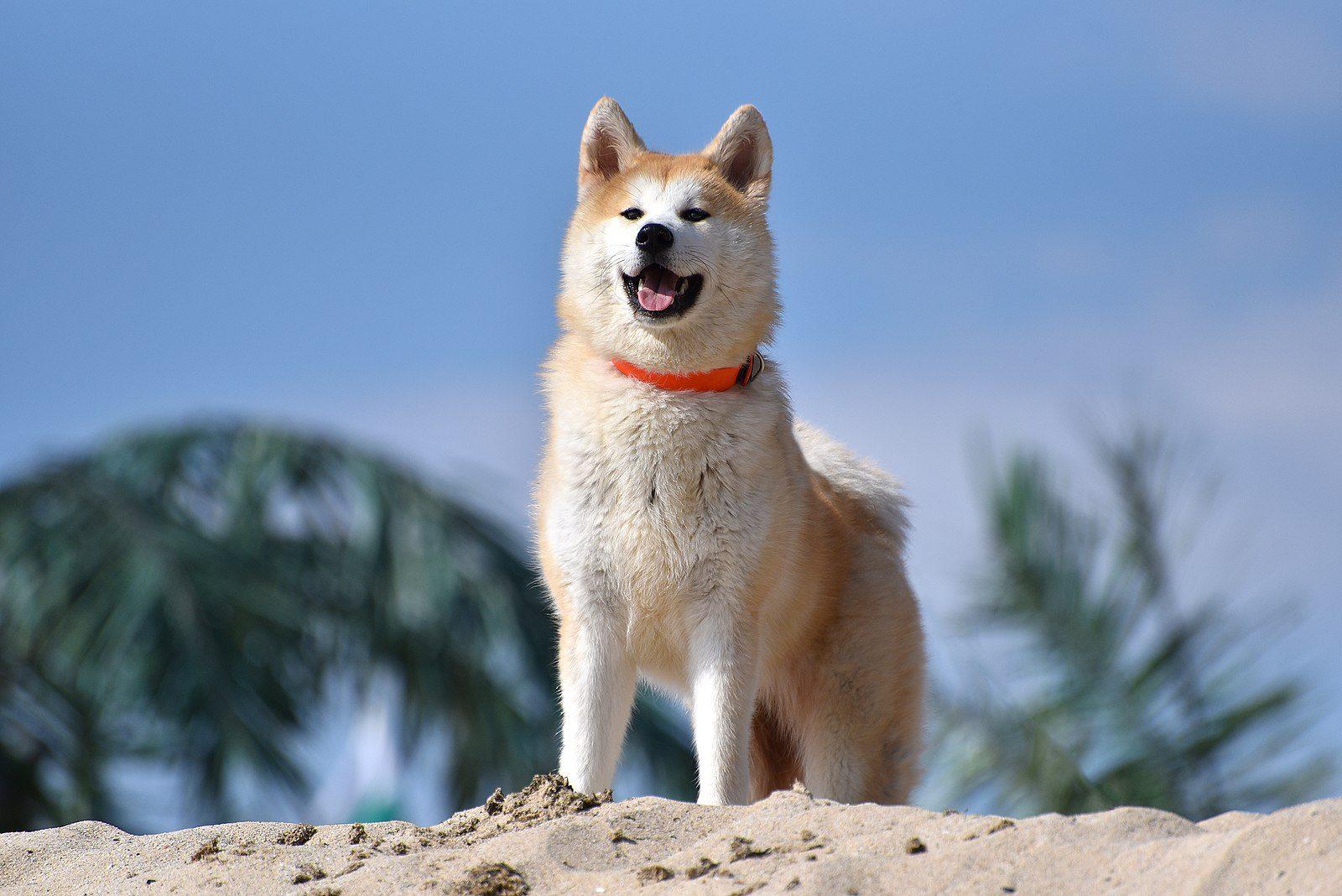 Akita Dogs