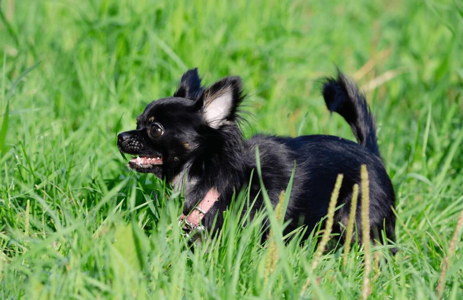 Apple Head Chihuahua dog