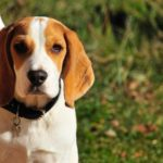 Beagle Mix Breeds