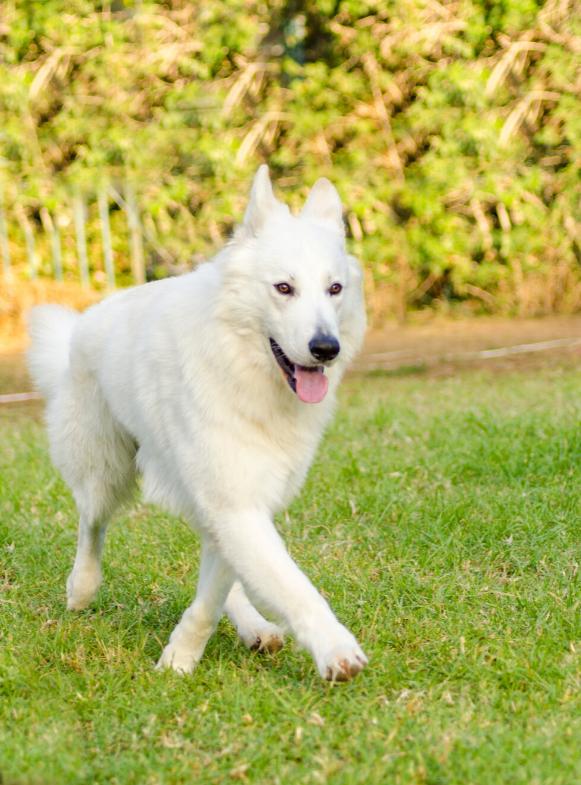 Berger Blanc Suisse Dog