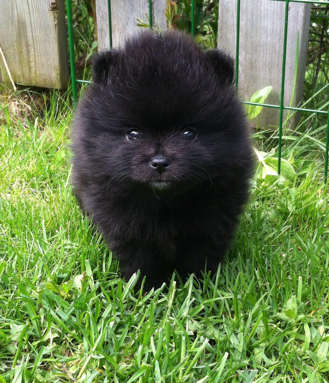 The Black Pomeranian Everything You Need To Know Animal Corner