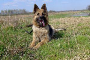 Black and Cream (German Shepherd)